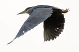 black_crowned_night_heron