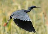 black_heron