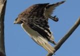 black_breasted_snake_eagle