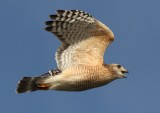 001Red shouldered hawk6.jpg
