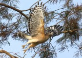 012Red shouldered hawk5.jpg
