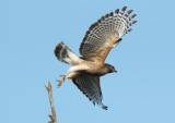 015Red shouldered hawk4.jpg