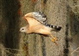 017Red shouldered hawk.jpg
