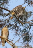 018Red shouldered hawks.jpg