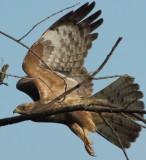 african_hawk_eagle
