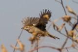 little_rush_warbler