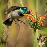 white-bellied_sunbird