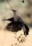 southern_pied_babbler