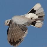 cape_turtle_dove