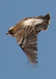 white_browed_sparrow_weaver