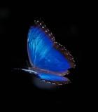 Blue Morpho Butterfly morpho peleides