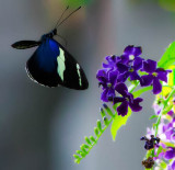 Small Blue Grecian Butterfly heliconius sara