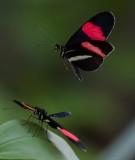 Postman Butterfly Heliconius melpomene