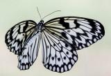 Paper Kite Butterfly Idea leuconoe