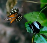 Golden Longwing Butterfly heliconius hecale