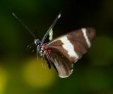 Transandean Cattleheart Butterfly Perides iphidamas