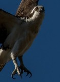 Shooting the eye out of an Osprey in flight