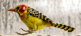 Red and yelow barbet