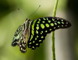 Green tailed Jay butterfly
