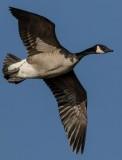 Shawnee mission canadian goose