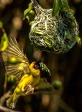 South Africa weaver nesting