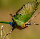 White Fronted Bee eater on the move