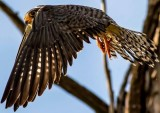 Amur Falcon heading out for the morning hunt