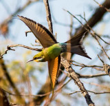 swallow_tailed_bee_eater