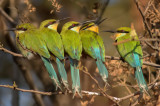 Swallow tail bee eaters