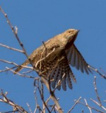 red_throated_wryneck