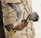 peregrine_falcon