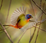 Painted bunting in flight