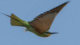 blue_cheeked_bee_eater