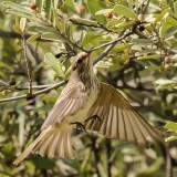 spotted_flycatcher