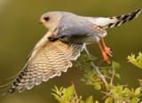 sparrow_hawk