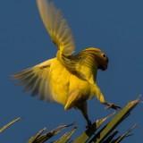 African Love bird