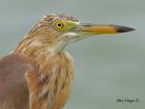 Pond-Heron -- sp 165