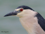 Black-crowned Night-Heron  -- sp 164