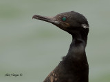 Indian Cormorant -- sp 169