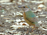 Blue-rumped Pitta 2014