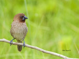 Scaly-breasted Munia -- sp 104