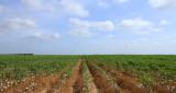Cotton Field in Hargill, Tx