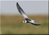Tern Black Wingws femail 3_resize_resize.jpg