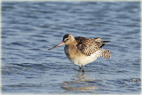 Bar-Tailed-Godwit-4-Web.jpg
