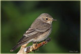 Spotted Flycatcher .jpg
