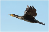 Great Cormorant 3.jpg