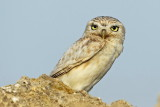 Little Owl 2_resize.jpg