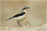 Wheatear Northern.