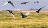 White Winged Tern Montage