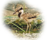 Red Wattled Lapwing Chick net.jpg